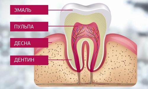 Строение зуба дентин